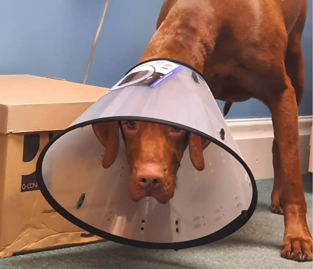 dog with a cone on its head
