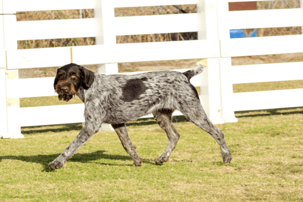 Hunting Dogs With Beards 5 Breeds To