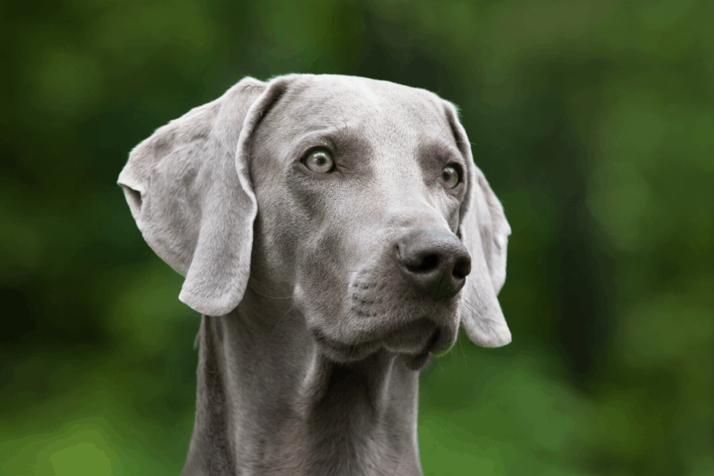 Weimaraner - blue eyed hunting dog.